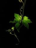 攀爬绿色叶子和黑背景的植物 免版税库存图片