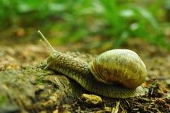 攀登一块木头的蜗牛 免版税库存图片