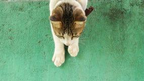 攀登下来葡萄酒绿色墙壁的逗人喜爱的白色猫 免版税库存图片