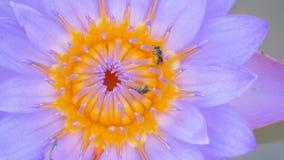 攀登在运河的小的蜂的关闭紫色莲花花粉 影视素材