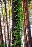 攀登它的杉树前景和弗吉尼亚爬行物 库存照片