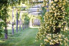 攀登玫瑰的banksiae荫径在一个庭院里在春天 免版税库存图片