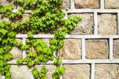 攀登一个石墙的绿色常春藤 图库摄影