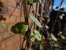攀登下来墙壁的植物 库存图片