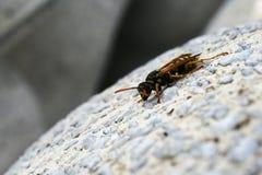 攀登下来装饰混凝土的黄蜂(群居黄蜂germanica) 库存照片