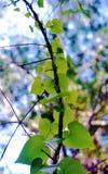 攀登分支的心形的藤叶子 免版税库存照片