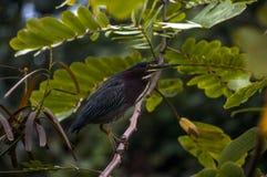 攀登分支的绿色苍鹭 免版税库存图片