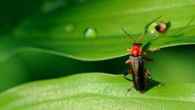 攀登叶子(16:9长宽比)的战士甲虫 免版税库存照片