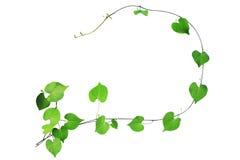 攀登有b的绿色心形的叶子自然框架植物 免版税库存照片