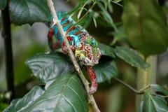 攀登棍子的变色蜥蜴 免版税库存照片