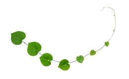 攀登植物的绿色心形的叶子隔绝在白色backg 库存照片