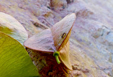 攀登种子荚叶子的蚂蚁 图库摄影