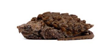 攫取temm乌龟年轻人的鳄鱼macrochelys 库存图片