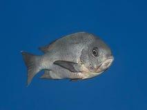 黑攫夺者在水钓鱼热带海中(Macolor尼日尔),  免版税库存图片