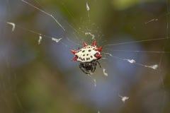 支持多刺的Orbweaver蜘蛛 免版税图库摄影