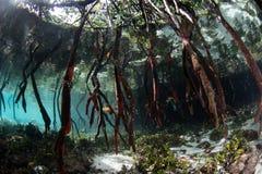 支持根在王侯Ampat美洲红树下降在水面下 图库摄影