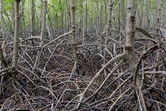 支持根在美洲红树森林里 免版税图库摄影