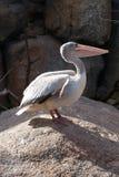 支持桃红色的鹈鹕- Pelecanus rufescens 免版税库存照片