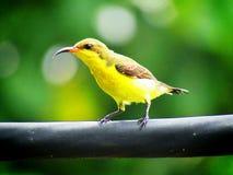 支持橄榄的sunbird Cinnyris jugularis,亦称黄腹吸汁啄木鸟的sunbird,是sunb的一个南部的远东种类 免版税库存照片
