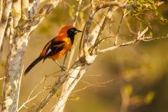 支持橙色的Troupial,栖息在树枝 免版税库存图片