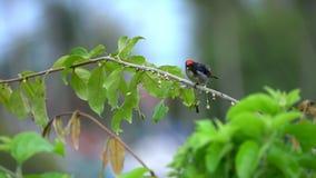 支持猩红色的Flowerpecker Dicaeum cruentatum坐树枝 股票录像