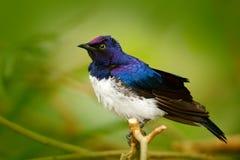 支持紫罗兰色的椋鸟科, Cinnyricinclus leucogaster,蓝色和白色鸟,面对面的看法,坐brach,在S发现了 免版税库存图片