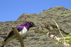 支持紫罗兰色的椋鸟 免版税图库摄影