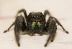 支持红的跳的蜘蛛, 图库摄影