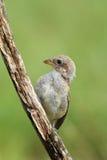 支持红的shrike拉尼厄斯collurio坐一只的幼鸟  图库摄影