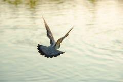 支持飞行在河的一只灰色鸽子鸟 免版税库存图片