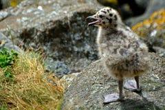 支持黑的鸥小鸡,因奇科姆岛海岛,苏格兰 免版税库存照片