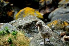 支持黑的鸥小鸡,因奇科姆岛海岛,苏格兰 库存照片
