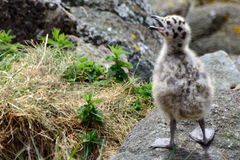 支持黑的鸥小鸡,因奇科姆岛海岛,苏格兰 库存图片