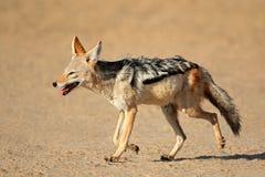支持黑的狐狼赛跑 库存照片