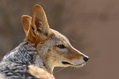 支持黑的狐狼,犬属mesomelas mesomelas,与长的耳朵的画象,纳米比亚,南非 图库摄影
