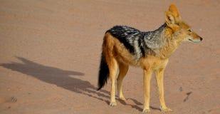 支持黑的狐狼 免版税库存照片