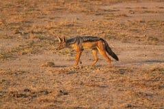 支持黑的狐狼- Safary肯尼亚 库存照片