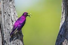 支持紫罗兰色的椋鸟在克鲁格国家公园,南非 免版税库存照片