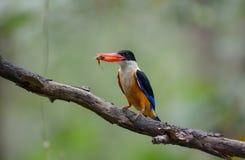 支持SilhouBlack的翠鸟,东方矮小的翠鸟 库存图片