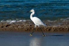 支撑在海浪线的白鹭 免版税库存照片