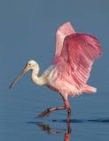 支撑粉红琵鹭 库存图片