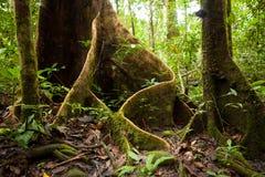 支柱在雨林的树根 免版税库存照片