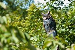收留猫头鹰的人工眼您 库存照片