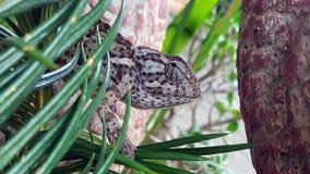 收缩变色蜥蜴的挡水板 图库摄影