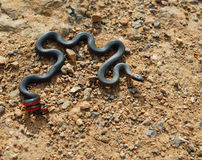 收缩的环形蛇 库存照片