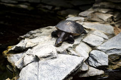 收缩的蛇乌龟 库存照片