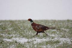 收缩的野鸡环形雪 免版税库存图片