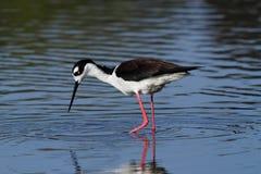 黑收缩的高跷鸟 免版税库存图片