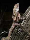 收缩褶边的蜥蜴 免版税库存照片