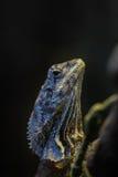 收缩褶边的蜥蜴 免版税图库摄影